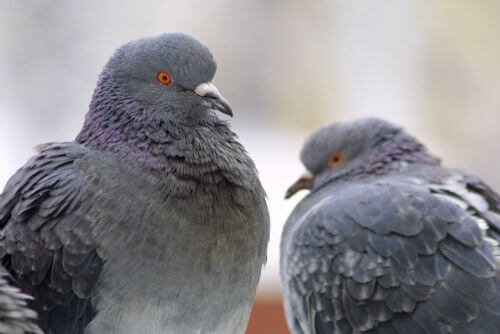 how to know pigeon male or female